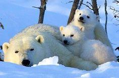 Polar bear mom and cubs via www.Facebook.com/PositivityToolbox