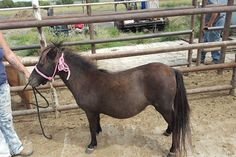 #9333 - 5 yr old mini mare, in foal. Price: $350 PayPal - mcbarronhorses@yahoo.com - choose Goods & Services option, and include the assigned # of the equine you're purchasing. Also be sure to include your name, email address, and phone #. Echecks not accepted. Location: Kaufman County, Texas (Forney) Shipping Deadline: Sunday, Oct 4th - 4 pm