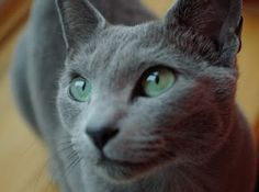 Gray Cat: Chartreux or Russian Blue? Maybe just a gray cat.