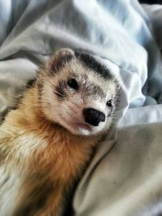 Autres - Furet - Dolce on Yummypets.com & http://www.pinterest.com/pin/461056080575500650/