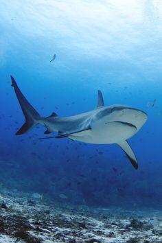 reals:  Tiger Shark | Photographer
