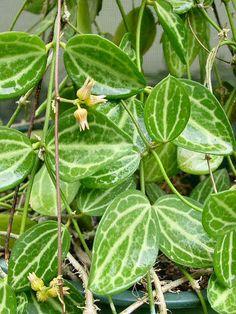 DISCHIDIA OVATA, from the Mangrove swamps of Queensland, Australia