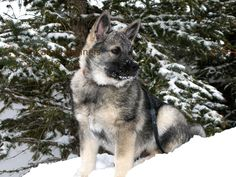 My awesome Norwegian Elkhound online showroom!!! Like. Repin. Comment. Thanksss!!!
