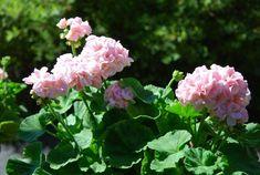 ÖVERVINTRA Pelargoner My Secret Garden, Winter Garden, Flower Beds, Gardening Tips, Perennials, Planters, Flowers, Pots, Gardens