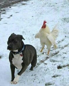 Pitbull being chased by a rooster and these are supposed to be such ferocious dogs.  What a sweetie