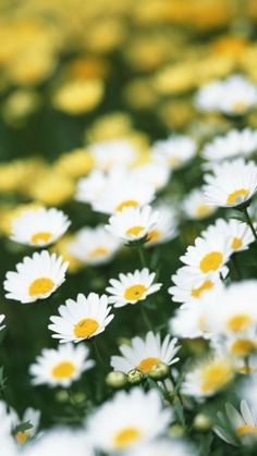 Preview daisies