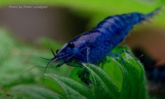 Neocaridina Davidi sp. Blue Dream!