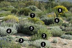 ...1: Artemisia lanata 2: Perovskia 'Blue Spire' 3: Tanacetum densum subsp. amanii 4: Senecio vira-vira 5: Artemisia arborescens' Carcassonne' 6:Asphodeline liburnica 7:Euphorbia charaacias subsp. wulfenii 8: Euphorbia ceratocarpa...