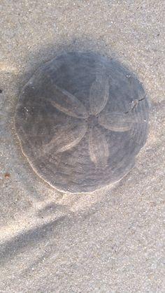 Sand dollar at Chapin Beach, Dennis, MA