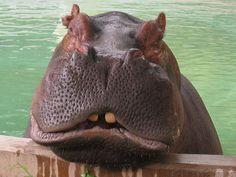 hippo-tastic