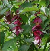Afbeelding van http://www.plant-info.com/Resources/leycesteriaformo.jpeg.