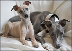 Whippet Buffy and Willow
