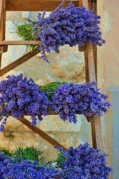 Bosjes lavendel kun je nooit te veel van hebben.