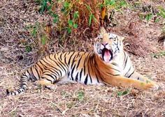 Tiger census: Volunteers write in from the US, News - Nation - Pune Mirror,Pune Mirror