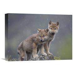 Global Gallery Gray Wolf Pups in Light Snowfall North America Wall Art - GCS-396247-1216-142