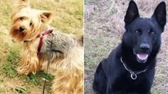 Police dog Falco destroyed after attack on Terrier Barbie  BBC News