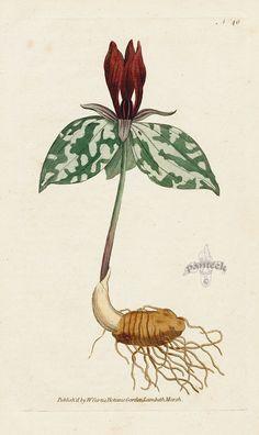 Trillium sessile. Sessile Trillium. from William Curtis Botanical Magazine 1st Edition Prints Vol 1-6 1787