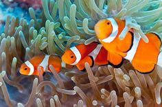 Some coral reef fish may be better prepared to cope with rising CO2 in the world's oceans -- thanks to their parents. (Credit: © crisod / Fotolia)