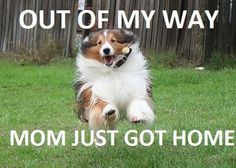 (from I Love Shelties)  love it when they actually catch air!!