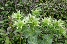 beth-chatto-gravel-garden-eringium-purple-sage-gardenista