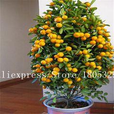 50 seeds/bag Potted Edible Fruit Seeds Bonsai Climbing Orange Tree Seeds