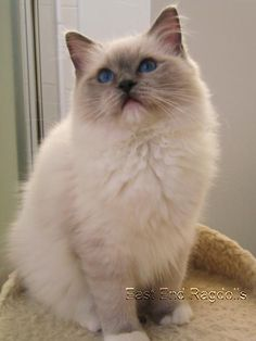 """Ragdoll Cat - This one is a young """"Blue"""". She looks like my Ajah."""
