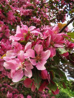 Omenankukkien aikaan