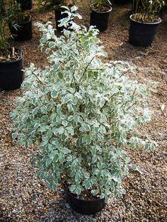 pittosporum tenuifolium variegatum (2)