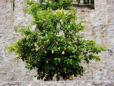 Zitronenbaum gießen