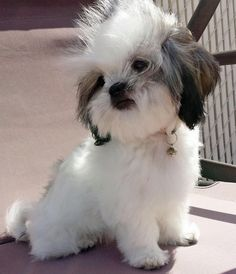 The Daily Puppy lEllie the Shih Tzu