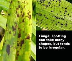 Diagnosing culture problems - Leaf spotting - really helpful website for sick orchids