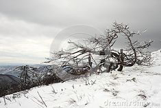 Photo about A twisted dead tree on a snowy slope covered in frost with ice covered branches against the overcast sky in a cold winter day. Image of slope, harsh, bent - 82038153 Winter Day, Branches, Frost, Ice, Cold, Stock Photos, Photography, Outdoor, Outdoors