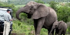 Every Year, A Herd Of Elephants Marches 12 Hours To The House Of Their Deceased Rescuer Herd Of Elephants, Giraffes, World Elephant Day, Love Is An Action, Indian Elephant, Elephant Baby, Bbc One, Gentle Giant, Good Cause