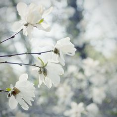 Product of the week! Star Magnolia Photograph, Shabby Chic Home Wall Decor, Soft Floral Art Print