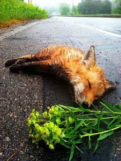 It's a very touching story of a fox that was rescued in the end, and it was all because of this humane man! It all started on a normal day when he was on his …