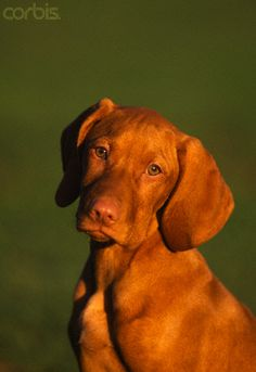 I think it's definitely better to adopt a dog, but those Vizla are soooo cute !