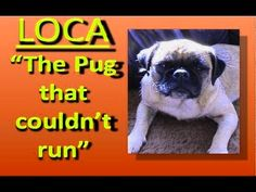 This pug has a a special talent  - http://uciki.com/2014/11/24/pug-special-talent/ - #Dogs, #Funny, #Music