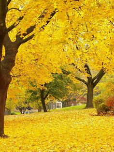Autumn Yellow Park photo Backdrop - 7747 We offer our photography backdrops in many material options with thousands of styles to choose from. Read below for more details on each of the materials we offer. DURA DROPS AND. Autumn Scenery, Autumn Trees, Autumn Leaves, Autumn Fall, Yellow Park, Beautiful World, Beautiful Places, Trees Beautiful, Beautiful Pictures