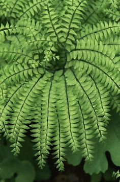 Grow Gorgeous Maidenhair Ferns Indoors With These Tips