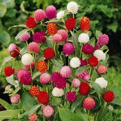 Globe Amaranth White, pink, rose, Salmon,and purple. Great for cutting and drying -Gomphrena (Gomphrena Globosa Mix ) - What a great addition to your flower garden! Globe Amaranth seeds readily produce these bright little golf ball-like blooms. Cut Flowers, Beautiful Flowers, Happy Flowers, Spring Flowers, White Flowers, Globe Amaranth, Drought Tolerant Plants, Flower Seeds, Dream Garden