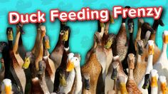 Duck Feeding Frenzy & Smiling Huskies! // Funny Animal Compilation… #funnypetvideos #funnyanimals