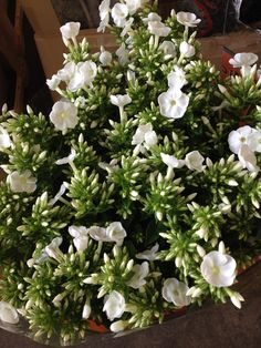 Home Delivery Service Phlox Called Icecap Sold In Bunches Of 10 Stems From The Flowermonger The Wholesale