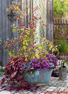 Herbstlich bepflanzte Zinkwanne mit Liebesperlenstrauch, Süßkartoffel, Purpurglöckchen und Kissen-Astern