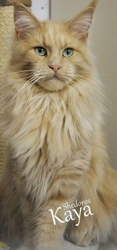 Silky coat and aquamarine eyes, Shedoros Maine Coon Cattery http://www.mainecoonguide.com/