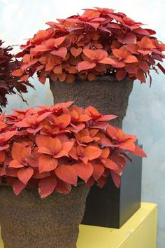 New coleus - Colorblaze Keystone Copper - great color for fall
