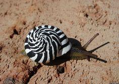 escargot-zebre