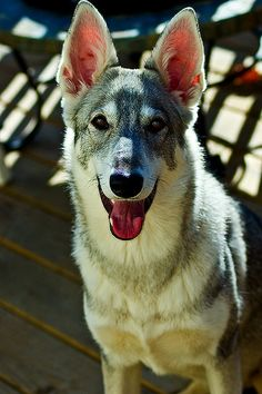 Tamaskan  The Tamaskan Dog is a rare dog breed of sleddog type, originating from Finland. It is a highly versatile breed that can excel in agility, obedience and working trials. Wikipedia