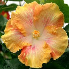 Hibiscus 'Bon Vivant'
