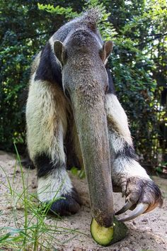 Anteater having change of diet! Unusual Animals, Rare Animals, Animals Beautiful, Animals And Pets, Funny Animals, Beautiful Creatures, All About Animals, Animals Of The World, Giant Anteater