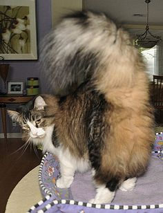 My Maine Coon Cat, Bangor, looked so much like this cat.  Markings are so similar.  I think Bangor was taller and his tail not so bushy.